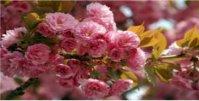 Закарпаття у цвіті сакури 9.05-11.05