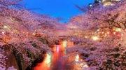 2 тури на Цвітіння Сакури в Закарпатті …
