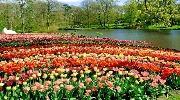 Цветочный рай: Голландские тюльпанчики