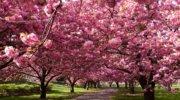 Тур в Закарпаття на цвітіння сакури