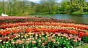 Горящий тур владельцам Виз: Голландские тюльпанчики