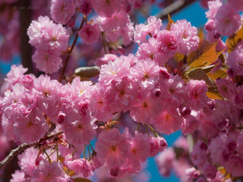 Картинки по запросу фото цветения сакуры в ужгороде