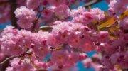 РОЖЕВЕ ДИВО ЗАКАРПАТТЯ - тури на цвітіння сакур та магнолій !