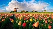 Мои ГОЛЛАНДСКИЕ тюльпаны!