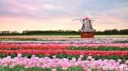 ГОРИТ! Мои ГОЛЛАНДСКИЕ тюльпаны!