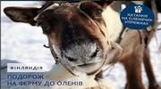 В Лапландії без оленів – ніяк!