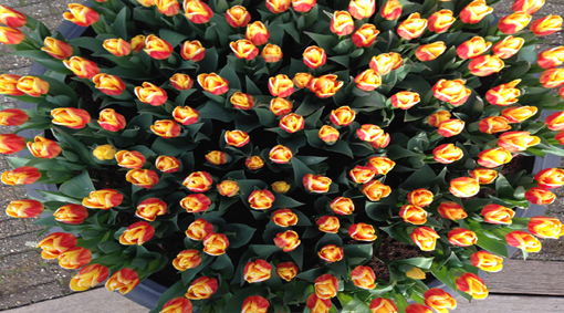 Амстердам + парк цветов Кекенхоф! Акция до 16.01.19