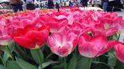 Вояж в Амстердам - 5 днів ( авіатур ) ! Період роботи знаменитого парку квітів Кекенхоф!