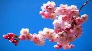 Закарпаття в цвіті сакури