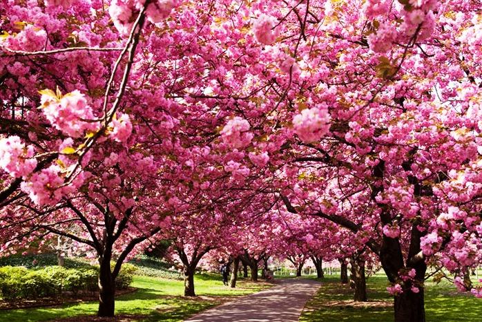 Поїздка в Карпати. Цвітіння Сакури та Долина Нарцисів