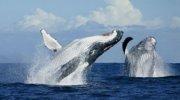 Скоро в Домінікані почнеться сезон спостереження за китами